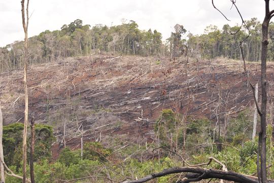 Những cánh rừng giao cho các công ty lâm nghiệp ở Đắk Nông bị tàn phá nghiêm trọng