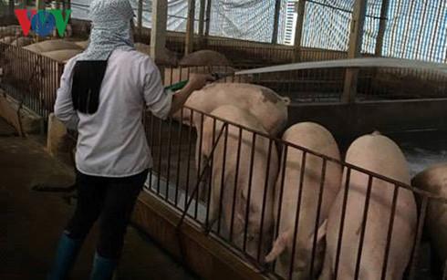Giá lợn hơi hiện nay đã chạm đáy, dưới 30.000 đồng/kg