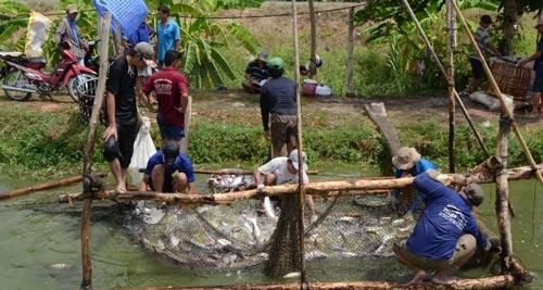 Diện tích nuôi cá tra trong ao ở ĐBSCL bị thu hẹp sau giai đoạn khó khăn vừa qua