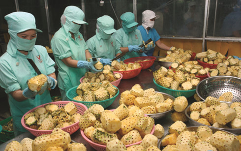 Chế biến dứa sau thu hoạch giúp nâng cao giá trị nông sản