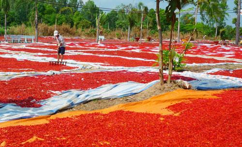 Không bán được, nhiều nông dân đã phơi ớt khô để trữ chờ giá cao lên sẽ bán ảnh THỐT NỐT