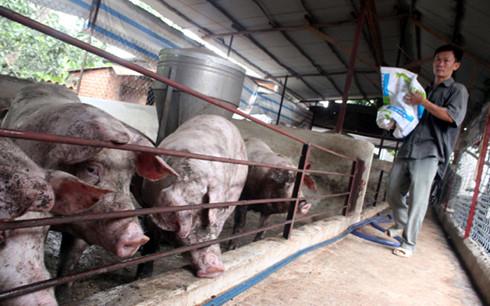 Càng cho ăn heo càng lớn khiến người chăn nuôi thêm lỗ nặng.(Ảnh minh họa: Internet)