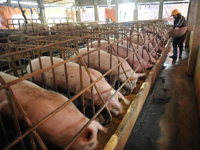 Giá thịt lợn được dự báo sẽ giảm tiếp vào những tháng mùa hè