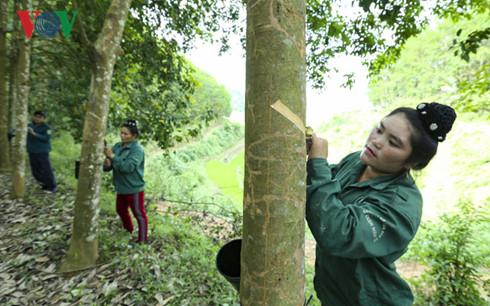 Các công nhân đang rất nỗ lực thực hành cạo mủ cao su, chuẩn bị cho thu hoạch đại trà vào tháng 5 tới.