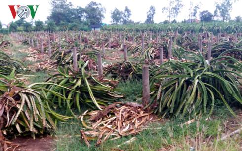 Vườn thanh long ruột trắng tại xã Quơn Long, huyện Chợ Gạo (Tiền Giang) đang bị phá bỏ đề trồng cây thanh long ruột đỏ.