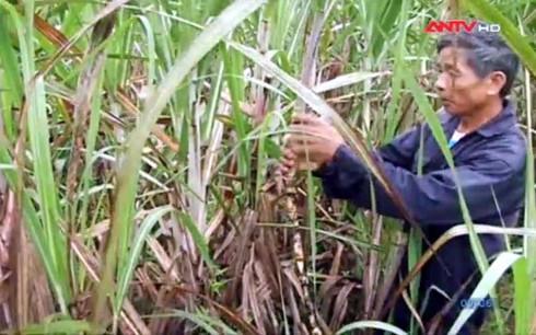 Người trồng mía lo lắng vì thiếu nhân công thu hoạch.