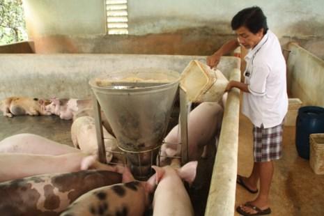 Thương lái Trung Quốc thu mua heo cỡ lớn tác hại nhiều hơn lợi đối với người nuôi heo Việt Nam