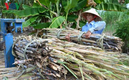 """Giá mía liên tục bất ổn, nhiều nông dân Cà Mau đã """"xé rào"""" bỏ mía qua nuôi tôm."""