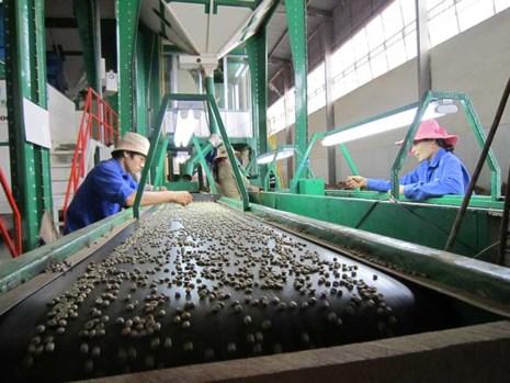 Chế biến cà phê tại Công ty Phước An, nơi đang quản lý 1.400 ha cà phê. Ảnh: TU