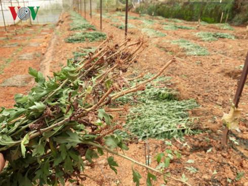 Đã có nhiều vườn hoa cúc tại Đà Lạt bị nhổ bỏ vì nhiễm virus gây bệnh đốm héo.
