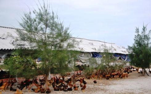 Mô hình tổ hợp tác chăn nuôi có điều kiện liên kết với các doanh nghiệp đẩy mạnh tiêu thụ sản phẩm theo chuỗi giá trị. (Ảnh: tamki.gov.vn)