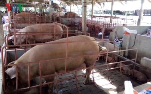 Toàn tỉnh Tiền Giang có hơn 21.600 hộ nuôi lợn có vay tiền ngân hàng với tổng dư nợ trên 1.160 tỷ đồng.