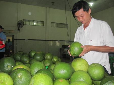 Bưởi da xanh tại cơ sở Hương Miền Tây. Ảnh: Dân Việt