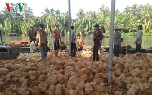 Trái dừa khô tỉnh Bến Tre đang hút hàng, tăng giá.