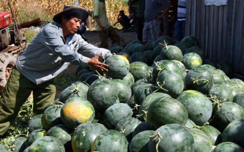 Dưa hấu là mặt hàng nông sản Việt xuất khẩu chủ yếu sang Trung Quốc (Ảnh minh họa: KT)