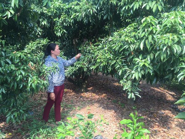 """Chị Leo Thị Xuân tỏ ra lo lắng: """"Nếu sang năm thời tiết không thuận, có khi nhà tôi phải phá cả vườn vải để trồng cây khác""""."""