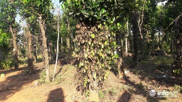 Vườn tiêu nhà bà Đậu Thị Thu bị bệnh chết khô