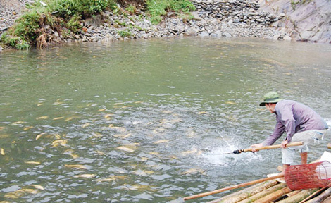 Cá hồi Sa Pa đang bị rớt giá do khó khăn về thị trường.
