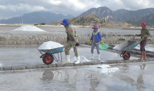 Diêm dân huyện Ninh Hải thu hoạch muối.