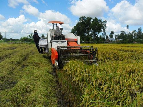 Diện tích trồng lúa Nhật ở Kiên Giang ngày càng tăng