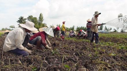 Nông dân ĐBSCL đang điêu đứng vì giá khoai giảm mạnh. Ảnh: P.V