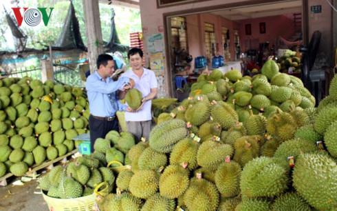 Trái sầu Riêng đủ tiêu chuẩn xuất khẩu tại xã Tam Bình, huyện Cai Lậy, tỉnh Tiền Giang.