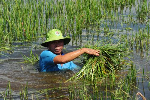Nông dân huyện An Phú, tỉnh An Giang thu hoạch lúa trong nước lũ Ảnh: NGỌC TRINH