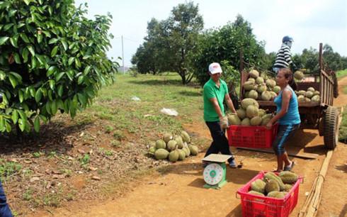 Thương lái tấp nập thu mua sầu riêng ở Đắk Nông (Ảnh: CafeF)
