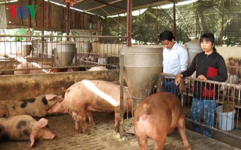 Người chăn nuôi lại điêu đứng vì giá heo