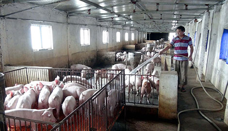 Việt Nam đang dư thừa thịt lợn nhưng chưa thể xuất khẩu