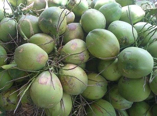 Giá dừa xiêm Bến Tre đang giảm mạnh