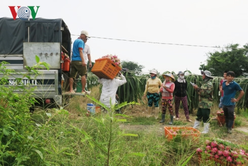 Thương lái mua thanh long tại vườn ở xã Hàm Thạnh, huyện Hàm Thuận Nam