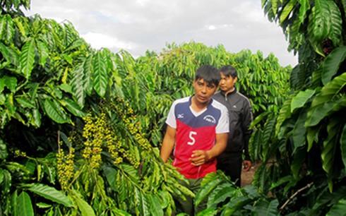 Cà phê Đăk Hà chuẩn bị vào mùa thu hái (ảnh: Báo Kon Tum)
