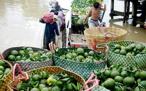 Tại Trà Vinh, cam sành loại I được thương lái mua tại vườn từ 7.000 - 8.000 đồng/kg (ảnh minh họa: KT)