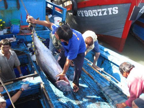 Ngư dân khai thác cá ngừ đại dương về bến Tuy Hòa, tỉnh Phú Yên Ảnh: Hồng Ánh