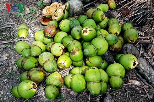 Huỳnh Thanh Tâm lo lắng khi dừa tạo hình bị rụng trái hàng loạt.