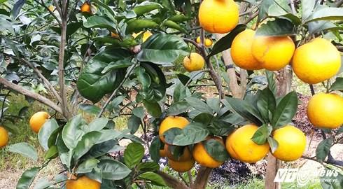 Cam Xã Đoài được trồng duy nhất tại vùng đất Nghi Lộc (Nghệ An) được ví là cam dành cho nhà giàu bởi sự đắt đỏ, chỉ bán tính tiền theo quả.