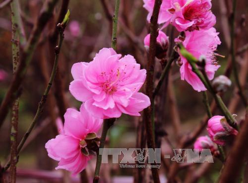 Vườn đào Nhật Tân. Ảnh: TTXVN