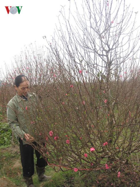 Đào đang được người trồng tuốt lá