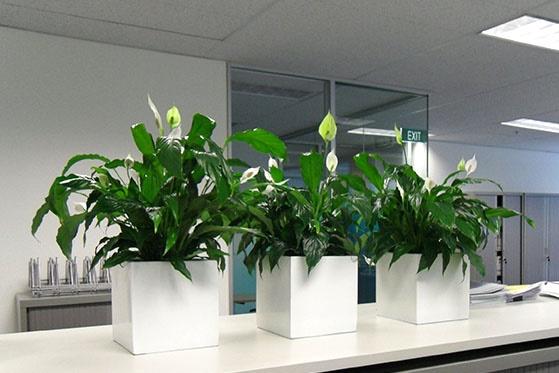 Trong văn phòng nên bày những chậu cây có lá tròn, xum xuê để tăng vận may.