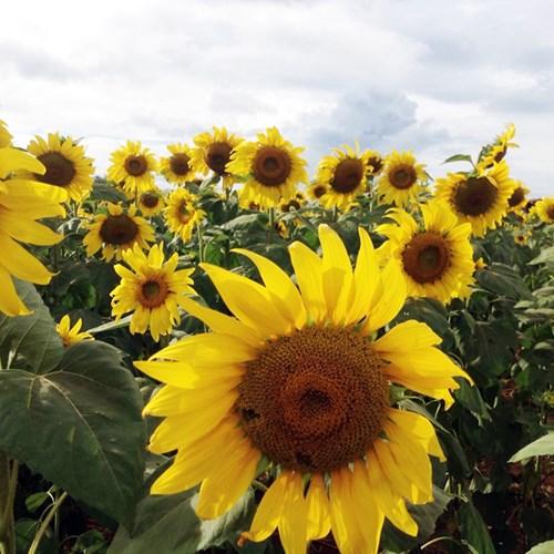 Các đóa hoa hướng dương rạng rỡ đón ánh nắng mặt trời.