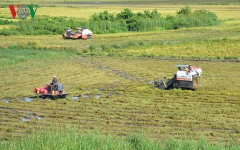 ĐBSCL đang vào mùa thu hoạch lúa Đông Xuân 2016 – 2017
