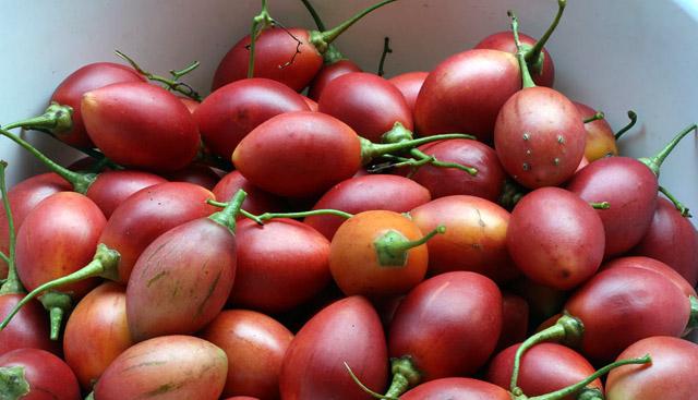 Cà chua thân gỗ giá 1 triệu đồng/kg
