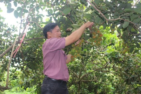 Hiếm hoi mới có một vườn chôm chôm có trái như thề này- Ảnh: Đông Hà
