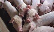 'Giải cứu lợn': Công ty nước ngoài muốn nhập hàng trăm tấn lợn Việt Nam