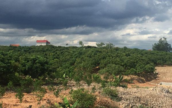 Vườn vải thiều ở Lục Ngạn.