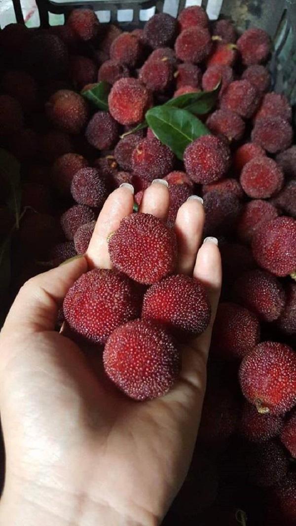 Quả thanh mai là loại trái cây hot vào mùa hè này.