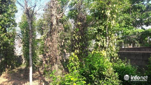 Những gốc tiêu bị bệnh chết, sau đó lan sang những gốc bên cạnh.