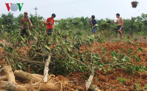 Cây cà phê không hiệu quả nên người dân ở xã Nhâm, huyện A Lưới chặt bỏ và chuyển sang trồng các loại cây ngắn ngày khác