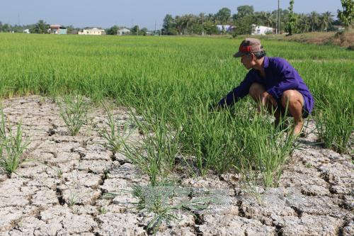 Ông Trần Văn Sĩ - nông dân ấp Bình Hòa, xã Bình Trinh Đông, tỉnh Long An bên ruộng lúa khô cằn. Ảnh: TTXVN